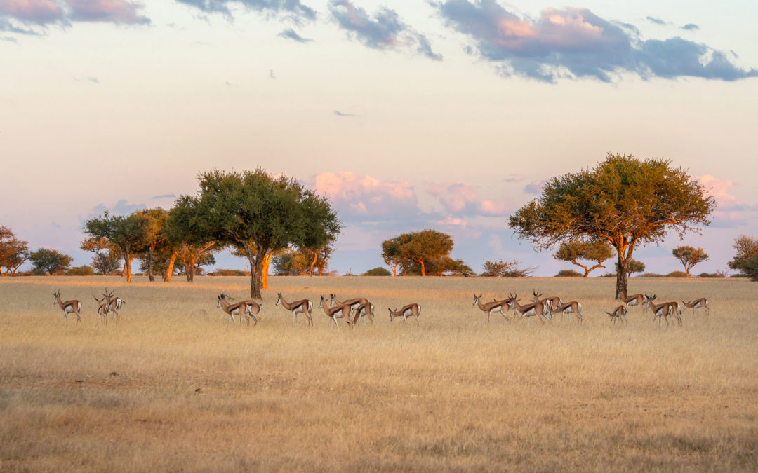 Savanna sunsets with herds of Springboks during sunset provide perfect visual spoils.