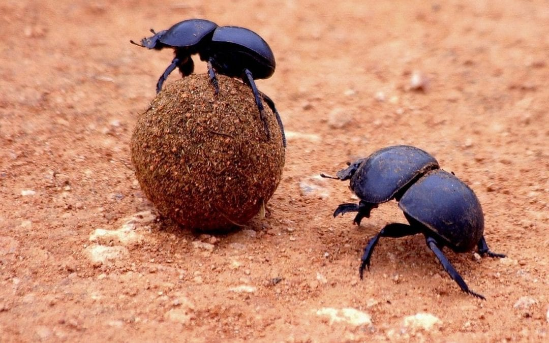 Two dung beetles on top and alongside a round piece of dung.