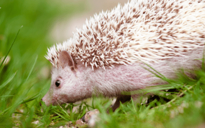 The Southern African Hedgehog